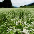 Photos: 蕎麦畑