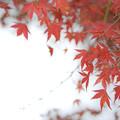 Photos: DSC_6273 紅葉狩り...3