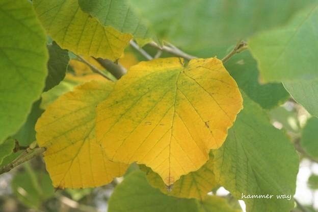 シナマンサクの紅葉