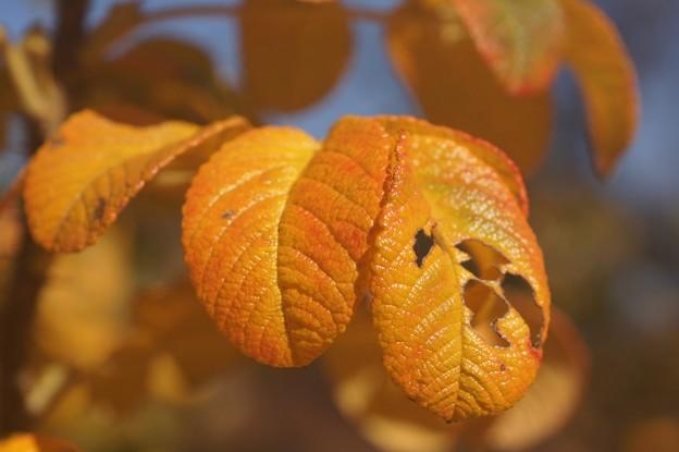 ハマナスの紅葉var