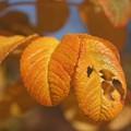 写真: ハマナスの紅葉var