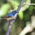 写真: 幸せの青い鳥