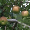 写真: 群馬 沼田のりんご園 170823 02