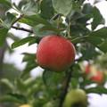 写真: 群馬 沼田のりんご園 170823 03