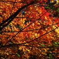 Photos: 「紅葉」です・・・・・
