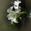 Photos: 「百合の花・・」・・・・