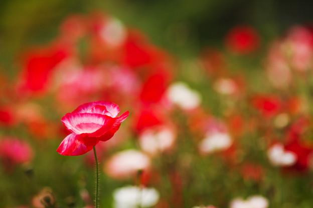 写真: 乱れ咲く