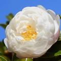 ほっこりと輝くように八重に咲く~煌めきの純白さざんかの花~