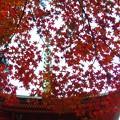 Photos: 多宝塔の紅葉