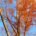 写真: 大樹の紅葉2