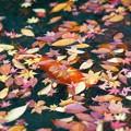 晩秋の備後路 崑崗池の鯉