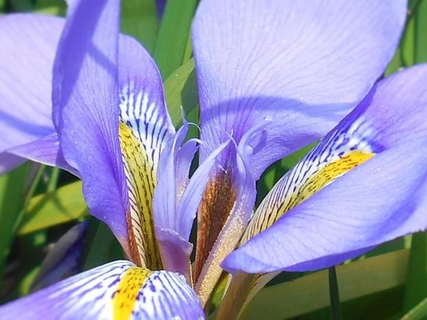 Photos: 瑠璃山の山頂周辺に咲く花~カンザキアヤメ~