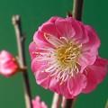 写真: 八重の寒紅咲きました ♪