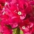 Photos: ブーゲンビレアの紅い花@干汐(ひしお)海岸周辺