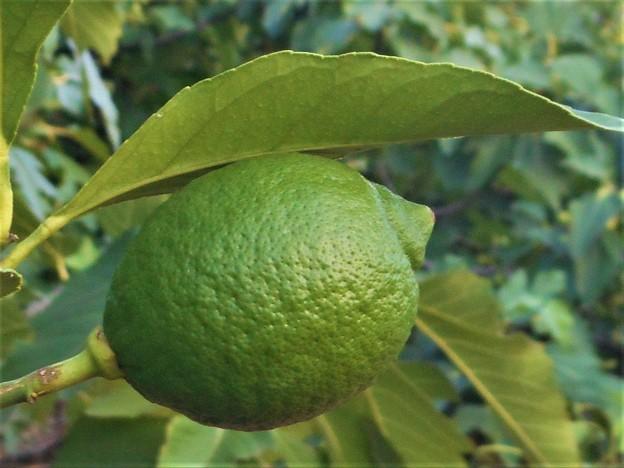 青いレモン@緑の果実