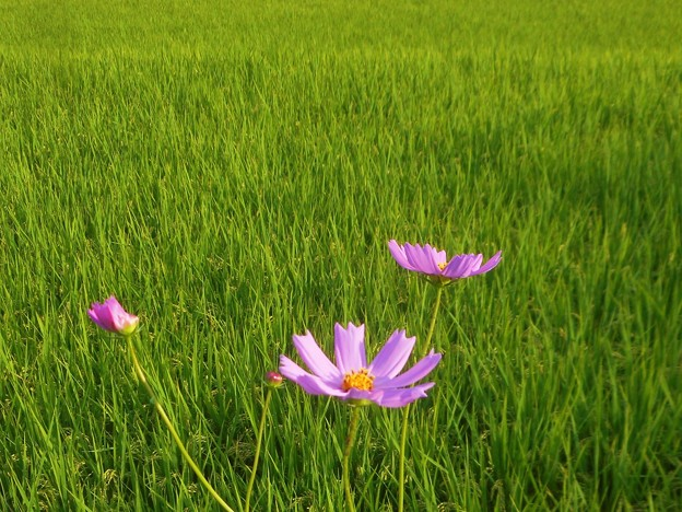コスモスと収穫の秋@久山田水源池