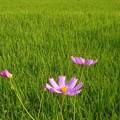 写真: コスモスと収穫の秋@久山田水源池