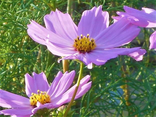秋の陽に 爽やかに咲く コスモスの花