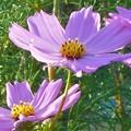 Photos: 秋の陽に 爽やかに咲く コスモスの花