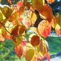 写真: ハナミズキの紅葉@秋めく季節