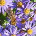 写真: 満開のシオンと昆虫