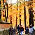 写真: 杉木立の紅葉@佛通寺・参道の秋