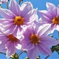 写真: 青空高く咲き始めた@皇帝ダリア