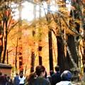 写真: 杉木立の紅葉@参道の秋@大本山・佛通寺