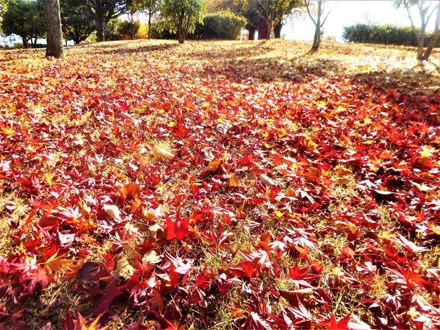 写真: 落ち葉が降り積もる@初冬の風景