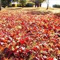 落ち葉が降り積もる@初冬の風景