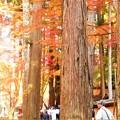 写真: 杉木立の紅葉@大本山佛通寺