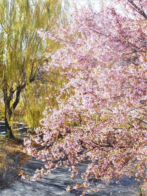 初冬の桜と青柳