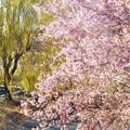 写真: 初冬の桜と青柳