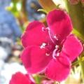 雪に咲く紅い花@最強寒波の朝2018.1.11