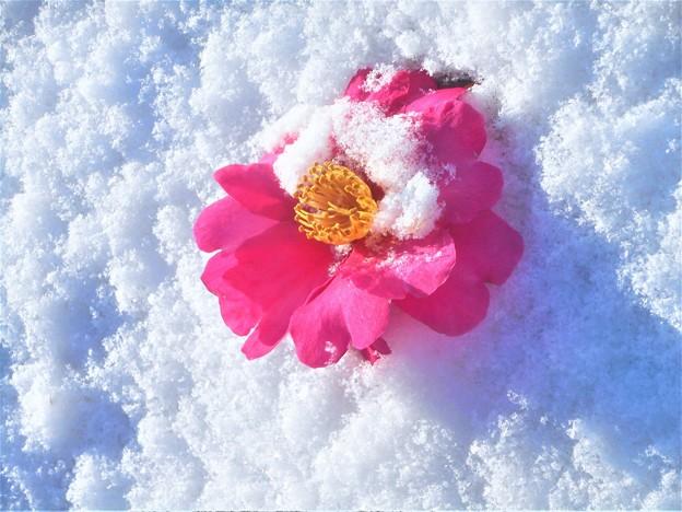 一輪の紅い花@最強寒波の朝2018.1.11