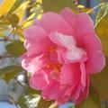 新春の雪の朝@八重のサザンカの花