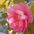 Photos: 新春の雪の朝@八重のサザンカの花