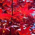 Photos: 晩秋の紅葉 in 瑠璃山