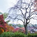 写真: 秋天的櫻花