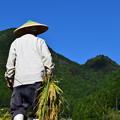 写真: 稲刈りの姿