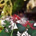 川辺に咲く紅の曼珠沙華