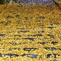 写真: 石段蔽う扇の葉っぱ