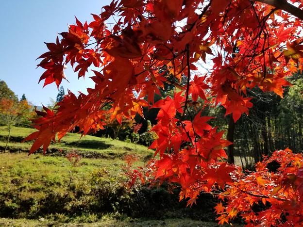 写真: 秋本番、日差しに映える紅葉かな