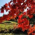 Photos: 秋本番、日差しに映える紅葉かな