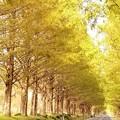 写真: メタセコイヤの並木道