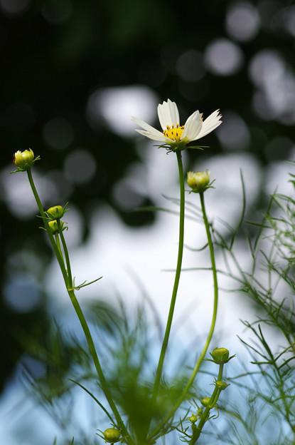 写真: 白いコスモス