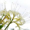 写真: ヒガンバナ白