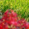稲穂と彼岸花
