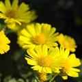 黄色い小菊