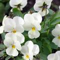 写真: 白いビオラ